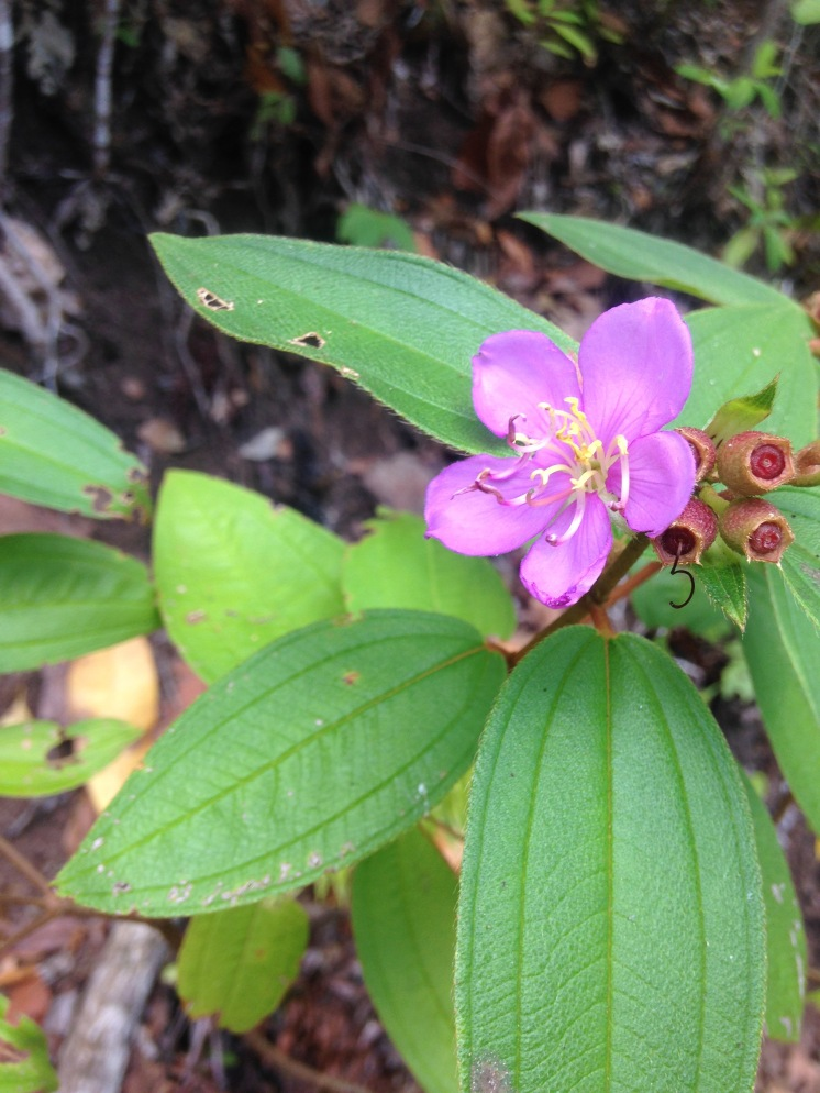 One of the pretty rainforest flowers on our walk