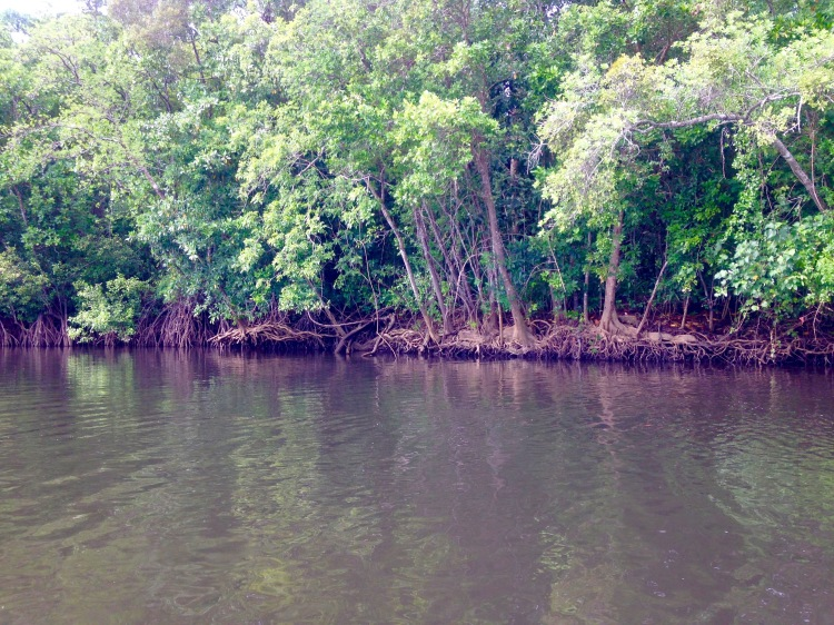mangroves croc cruise