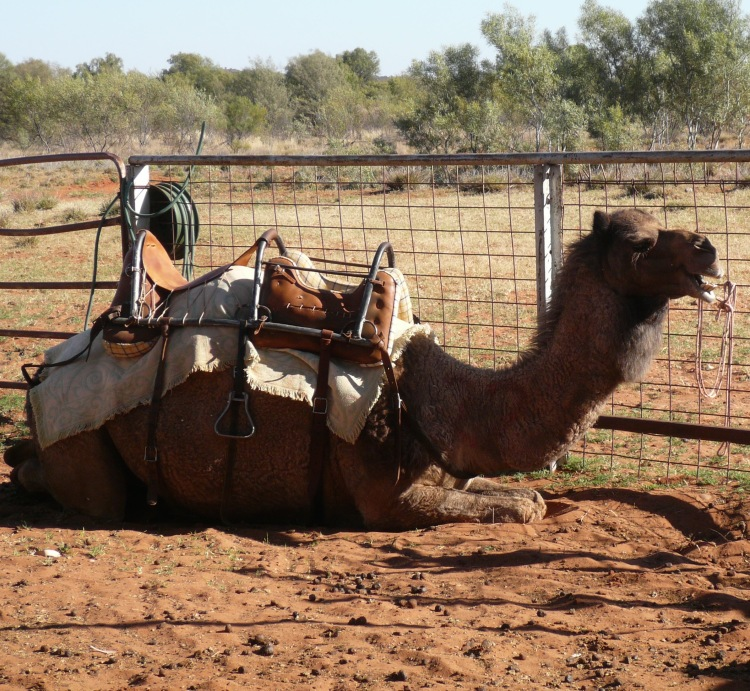 camel farm 3