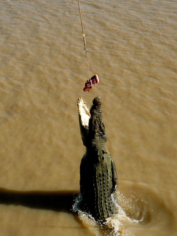 feeding crocs
