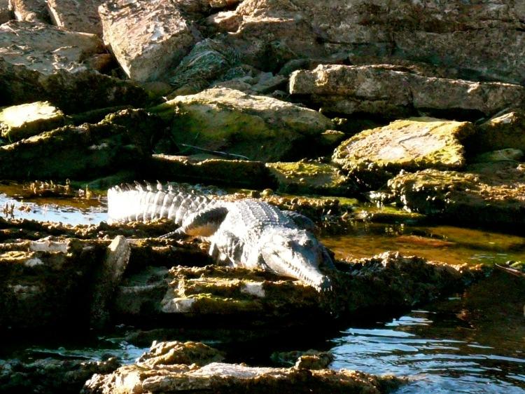 Lake argyle croc 2
