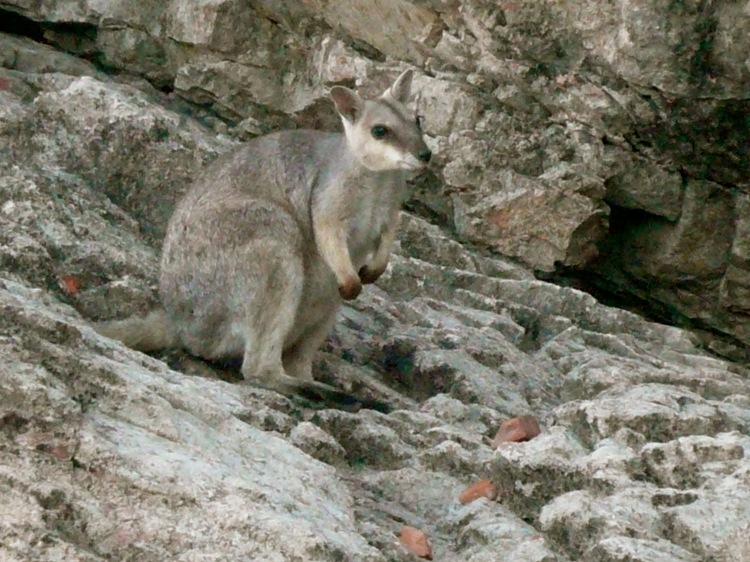 Lake Argyle wallaby