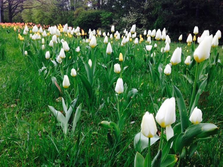 white-tulips